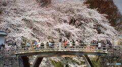 山形市・霞城公園の桜