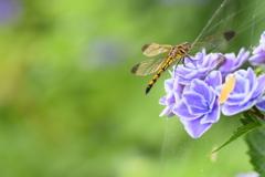 この紫陽花が好きなんです