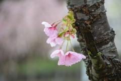 雨の朝の 八重桜