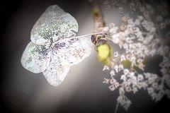 4月の紫陽花