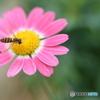 お花と ハナアブさん