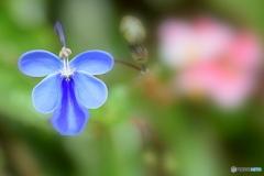 ブルーの蝶