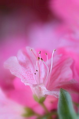 ピンクのサツキ