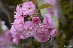 今日の八重桜 ②