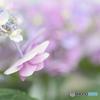 お花屋さんの 紫陽花