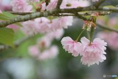 ありがとう 八重桜さん