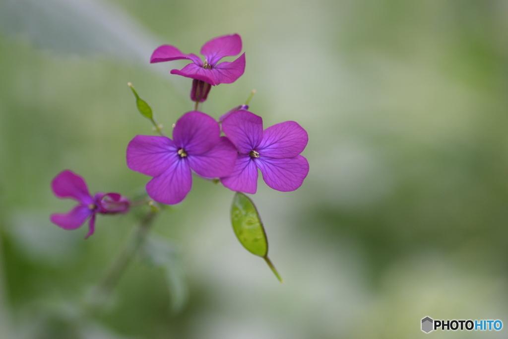 大判草のお花
