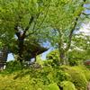 養運寺の新緑