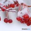 雪をかぶった 赤い実