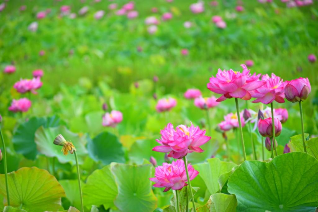 田んぼの蓮の花