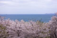 桜舞う瀬戸内海