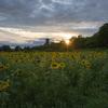 落陽が照らす向日葵
