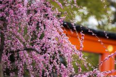 城南宮の垂れ梅