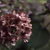 梅雨が終わり枯れてしまった紫陽花