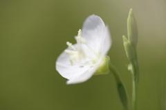 白花さん、見っけ