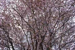 桜、密集。