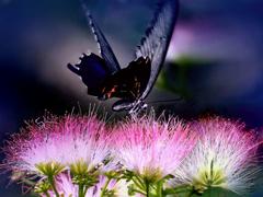 合歓の木と黒アゲハ蝶 t