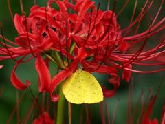 ヒガンバナの蜜を吸う黄蝶