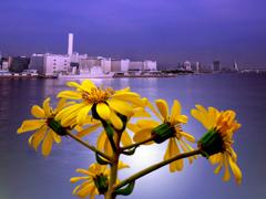 埠頭に咲くツワブキ