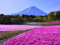 富士芝桜まつり t