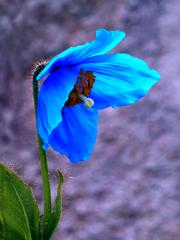 メコノプシス・ベトニキフォリア (ヒマラヤの青いケシ)