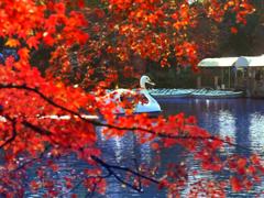 スワンボートと紅葉 t