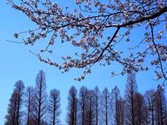 桜とメタセコイア