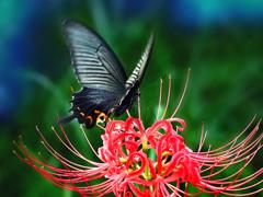彼岸花の蜜を吸うクロアゲハ蝶