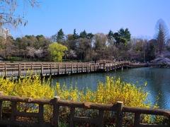 レンギョウの咲く橋 t