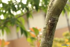 アオダモノの木とクマゼミ