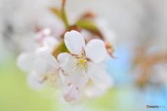 日本の春の象徴