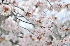 降ってきそうな桜玉