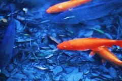 極彩色の池の鯉