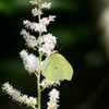 ハナチダケサシに蝶