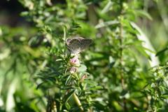 メドハギに蝶