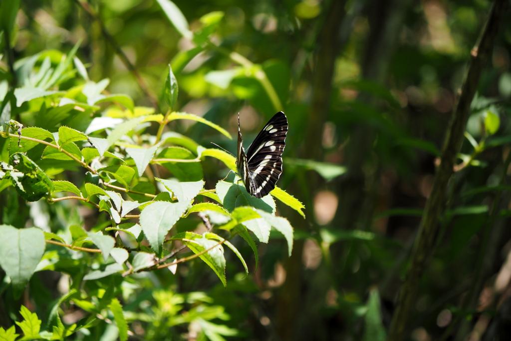 葉上のミスジチョウ