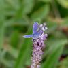 ツルボに蝶