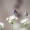 ニラ花にシジミチョウ
