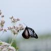 フジバカマに蝶