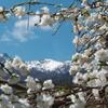 花桃と雪山