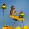 オオキンケイギクに蝶