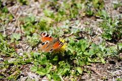 タンポポに蝶