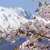 雪山と遅咲きの八重桜