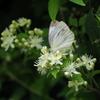 ボタンヅルに蝶
