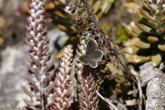 ツメレンゲに蝶