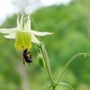 オダマキにハチ