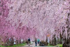 しだれ桜遊歩道