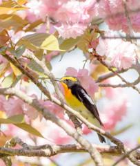 桜キビタキ