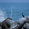 波に驚くウミウ