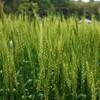 スクスク伸びる…麦の穂先